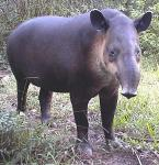 Imagine atasata: tapir_b.jpg