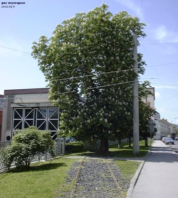 Imagine atasata: Graz_tree_Steyrerg.jpg